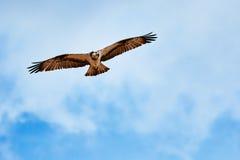 Летание и звероловство скопы на голубом небе Стоковые Изображения RF