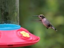 Летание колибри пар Стоковое Фото