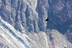 Летание кондора в Перу Стоковые Изображения RF