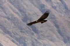 Летание кондора в Перу Стоковые Фотографии RF