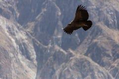 Летание кондора в Перу Стоковая Фотография