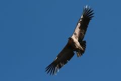 летание кондора Стоковые Изображения