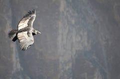 летание кондора Стоковое Фото