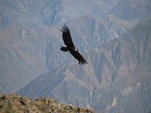 летание кондора colca каньона Стоковое Изображение