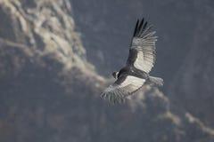 Летание кондора Стоковые Изображения RF