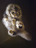 летание кота Стоковые Фотографии RF