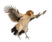 Летание курицы стоковое изображение