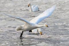 Летание лебедя Сибиря белое на льде Стоковая Фотография