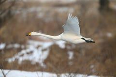Летание лебедя Сибиря белое на льде Стоковые Фотографии RF