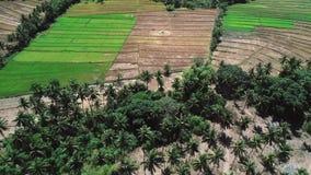 Летание над полем и кокосовыми пальмами риса Вид с воздуха террасы риса, аграрного края фермеров ландшафт тропический акции видеоматериалы