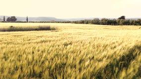 Летание над пшеничным полем лета видеоматериал