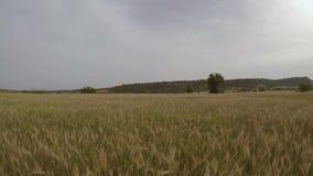 Летание над пшеничным полем видеоматериал
