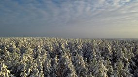 Летание над снегом соснового леса зимы понижается от деревьев пасмурное небо сток-видео
