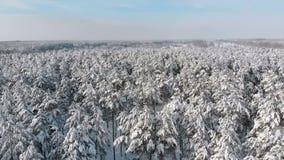 Летание над снежными верхними частями деревьев соснового леса зимы на солнечный день сток-видео