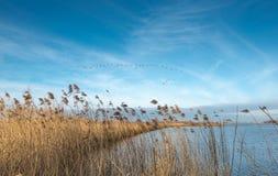 Летание образования гусынь против голубого неба Стоковая Фотография