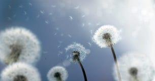 летание одуванчика осеменяет ветер Стоковые Фото