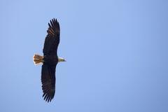 летание орла предпосылки облыселое голубое Стоковые Фотографии RF