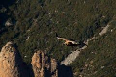 Летание орла стоковые фото