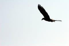 летание орла Стоковое Фото