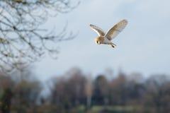 Летание одиночного Tyto сыча амбара alba, в полете Стоковые Изображения RF