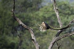 Летание павлина, который нужно озадачивать в природе Стоковые Фото
