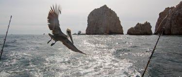 Летание пеликана за рыбацкой лодкой хартии на землях кончается в Cabo San Lucas в Нижней Калифорнии Мексике Стоковые Фото