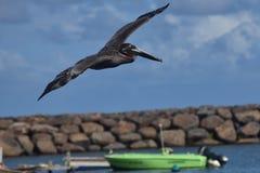 Летание пеликана через portbearing Стоковые Фото