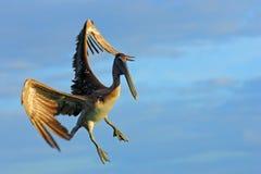 Летание пеликана на thy небе вечера голубом Пеликан Брайна брызгая в воде, птице в среду обитания природы, Флориде, США Сцена жив Стоковое фото RF