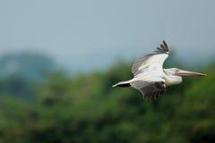 Летание пеликана Стоковое Изображение