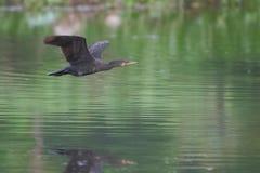 Летание птицы баклана над поверхностью воды стоковое изображение