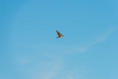 Летание птицы в голубом небе на восходе солнца Стоковые Изображения RF