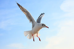 Летание птицы в голубом небе, Стоковая Фотография RF
