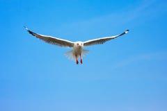 Летание птицы в ясном голубом небе Стоковые Фотографии RF