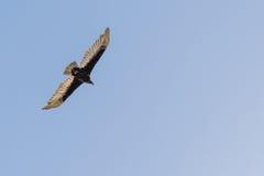 Летание птицы канюка/хищника Турции в голубом небе Стоковая Фотография