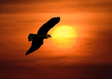 Летание птицы на заходе солнца Стоковые Фото