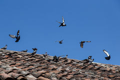 Летание птицы на крыше Стоковая Фотография RF