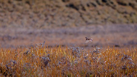 Летание птицы на поле травы Стоковые Фото