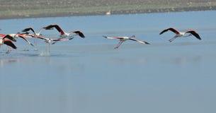 Летание птицы фламинго группы большее стоковая фотография