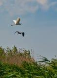 Летание птицы цапли Стоковая Фотография