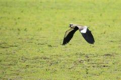 Летание птицы Quero-Quero стоковые изображения