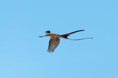 Летание птицы Tesourinha с голубой предпосылкой Стоковое Изображение RF