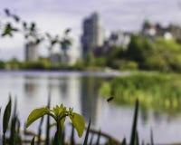 Летание пчелы далеко от желтого цветка стоковое фото