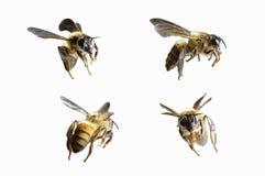 Летание пчелы изолированное на белой предпосылке стоковые изображения