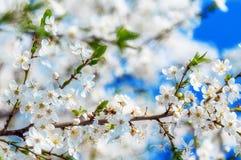 Летание пчелы меда на вишневом цвете весной с мягким фокусом, Sa Стоковые Изображения RF