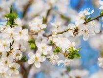 Летание пчелы меда на вишневом цвете весной с мягким фокусом, Sa Стоковая Фотография RF