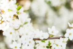 Летание пчелы меда цветения весны на зацветать цветет Стоковая Фотография