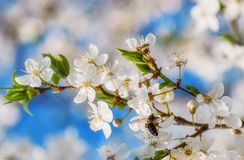 Летание пчелы меда цветка или вишневого цвета Сакуры Стоковая Фотография