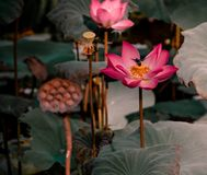 Летание пчелы на розовом лотосе стоковые изображения