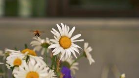 Летание пчелы на цветке в конце замедленного движения вверх сток-видео