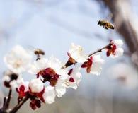 летание пчелы Стоковое Фото